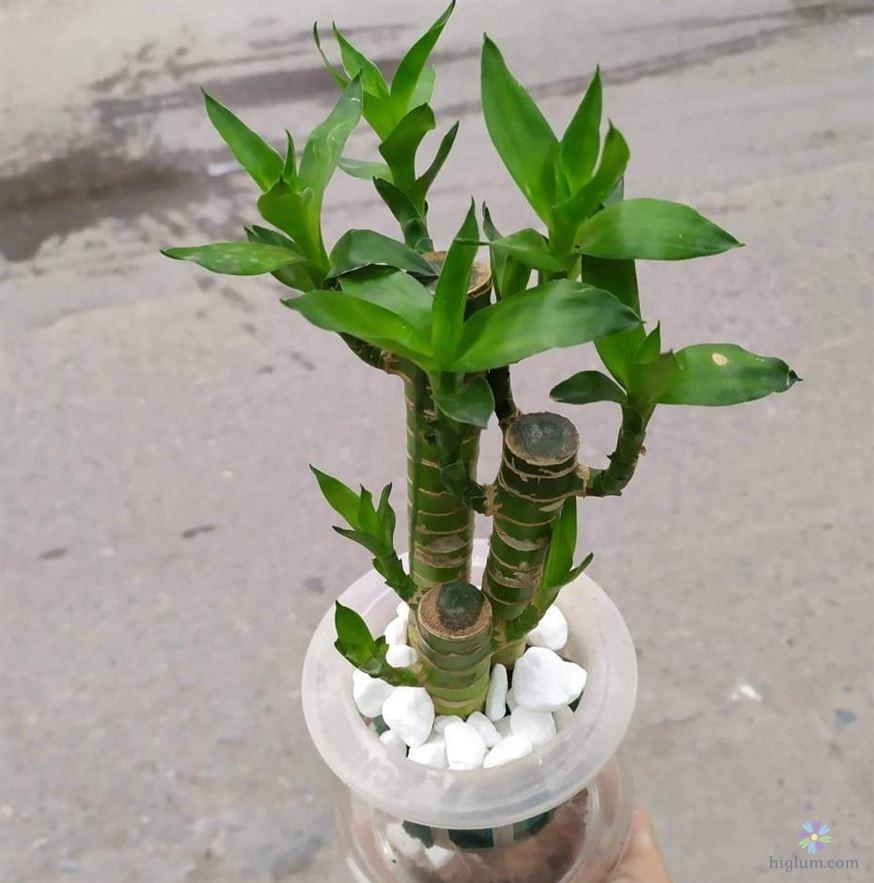 Có nên trồng cây phát tài không?