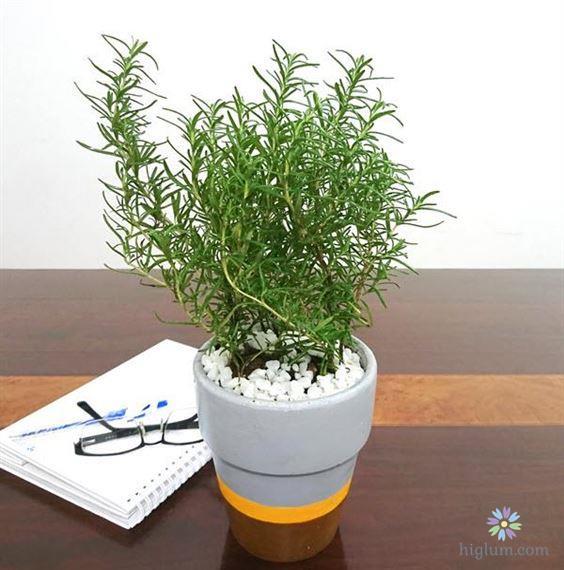 Có nên trồng cây hương thảo?