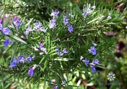 Hướng dẫn trồng và chăm sóc cây hương thảo