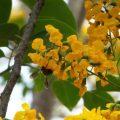 Trồng và chăm sóc cây giáng hương
