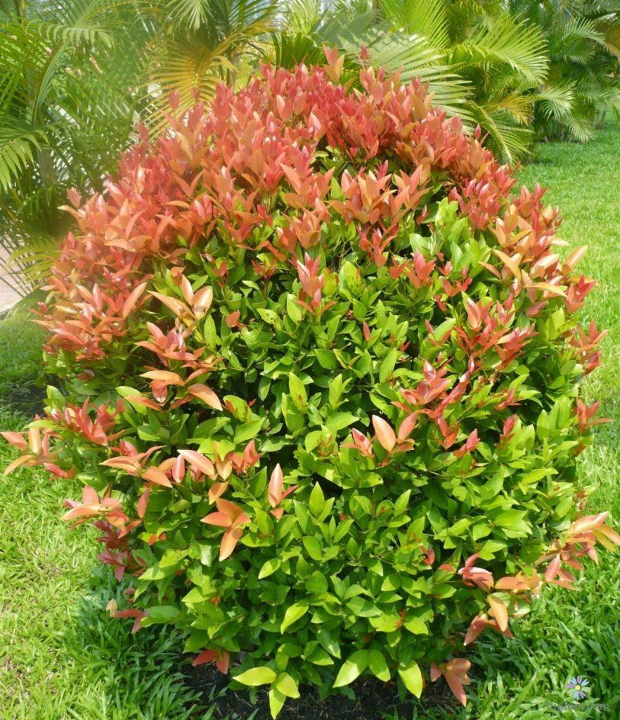 Là một cây ưa sáng, nên cây hồng lộc thích hợp trồng ngoài trời