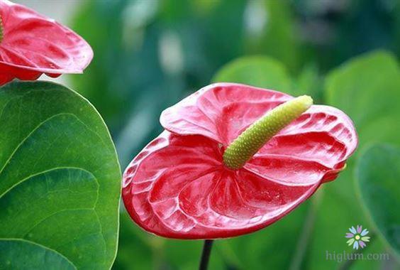 Trồng và chăm sóc cây hồng môn