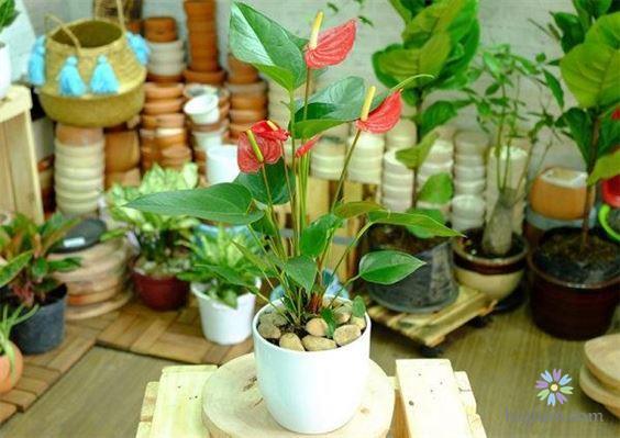 Người mệnh gì nên trồng cây hồng môn?