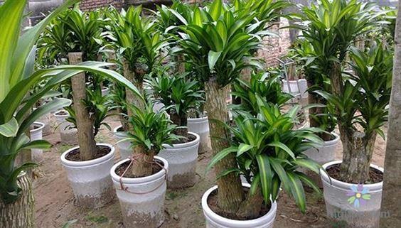 Hướng dẫn trồng và chăm sóc cây thiết mộc lan