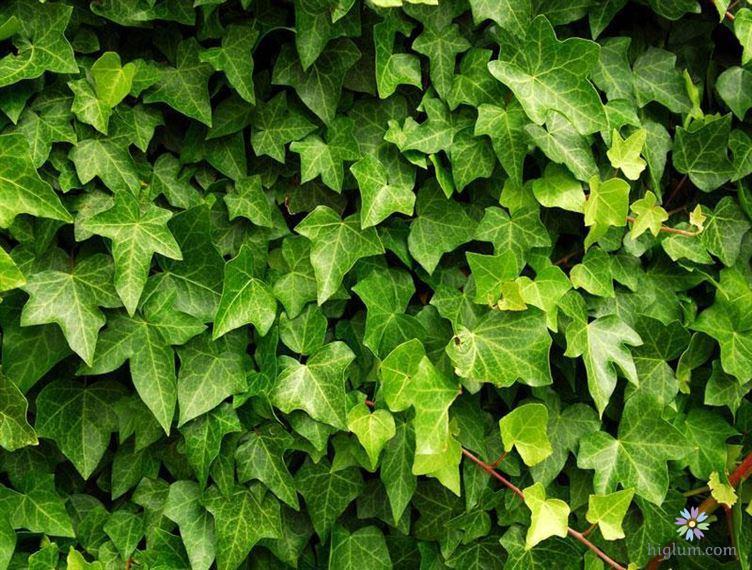 Hướng dẫn trồng và chăm sóc cây thường xuân (Nguồn: higlum)