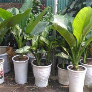 Cách trồng cây đại phú gia