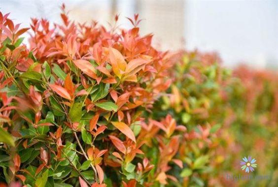 Cách trồng và chăm sóc cây hồng lộc không khó (Nguồn: higlum)
