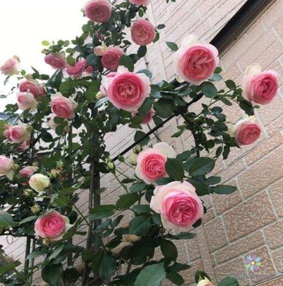 Hướng dẫn chăm sóc hoa hồng leo
