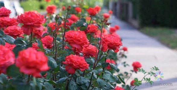 Hoa hồng có ý nghĩa gì?