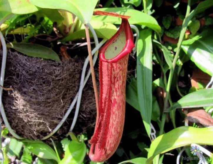 Hướng dẫn trồng và chăm sóc cây nắp ấm