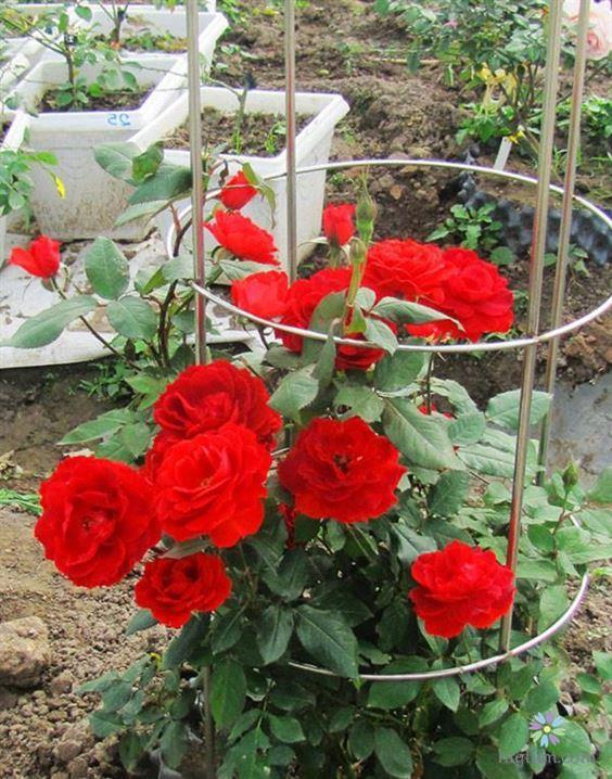 Chăm sóc cây hoa hồng