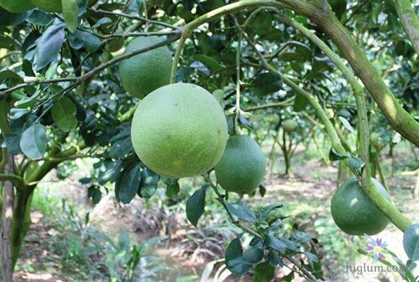Trồng và chăm sóc cây bưởi da xanh (Nguồn: higlum)