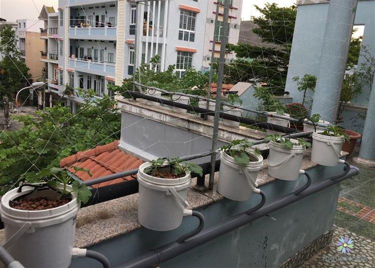 Chăm sóc dưa lưới trên sân thượng