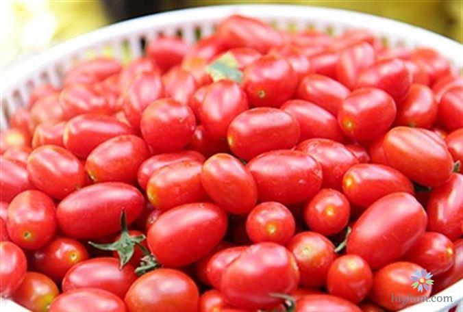 Trồng và chăm sóc cà chua bi