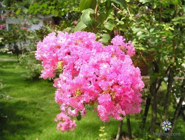 Hướng dẫn trồng và chăm sóc hoa tường vi