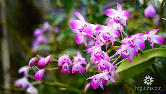Chăm sóc lan đùi gà - cho hoa nở đúng dịp