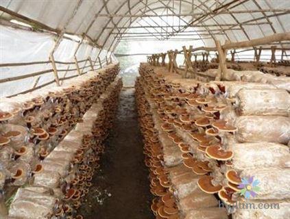 Cách trồng nấm linh chi