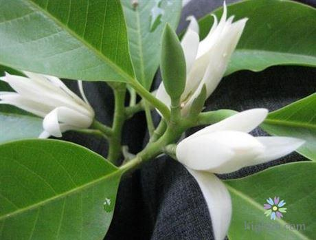 Hoa ngọc lan có ý nghĩa gì?