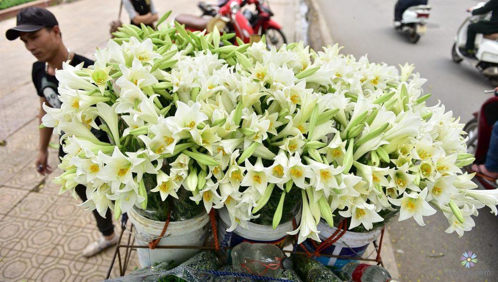 Hình ảnh hoa loa kèn đẹp