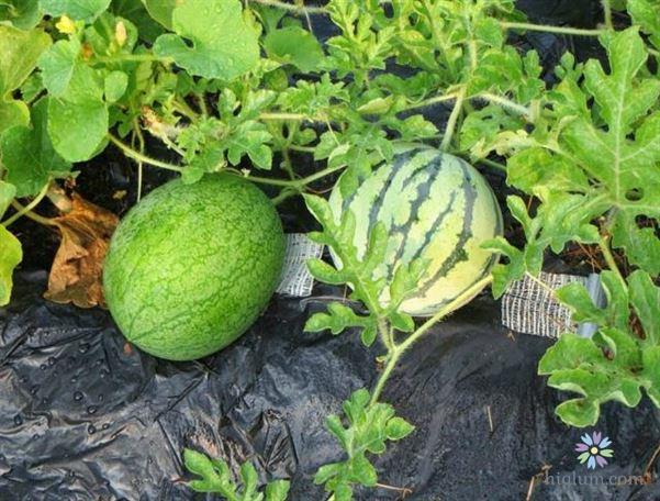Dưa hấu chứa nhiều vitamin tốt cho sức khỏe