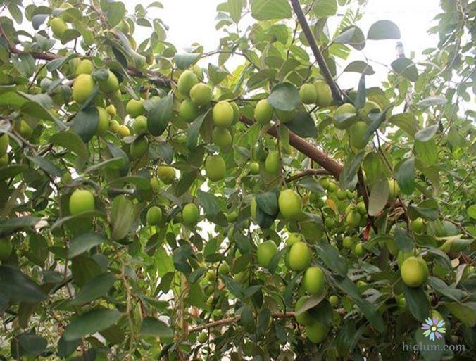 Việc chăm sóc tốt quyết định phần lớn thành công của vườn táo