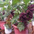 Hướng dẫn trồng cây nho lùn