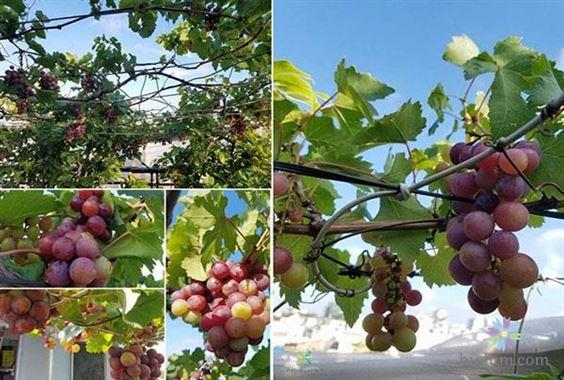 Hướng dẫn trồng nho tại nhà (Nguồn: higlum)