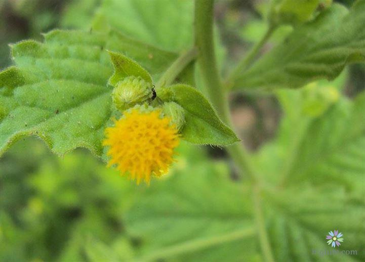 Khu vực phân bố của loài rau thảo dược