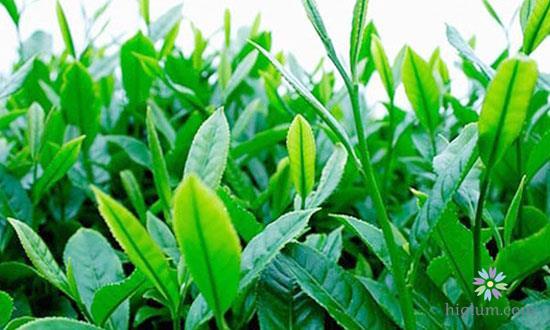Dùng trà xanh triệt hôi nách
