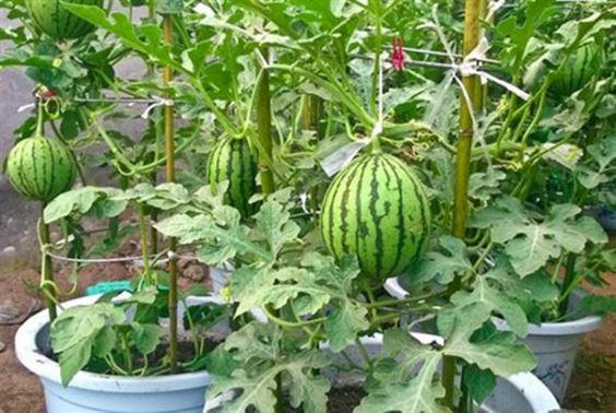Hướng dẫn trồng dưa hấu