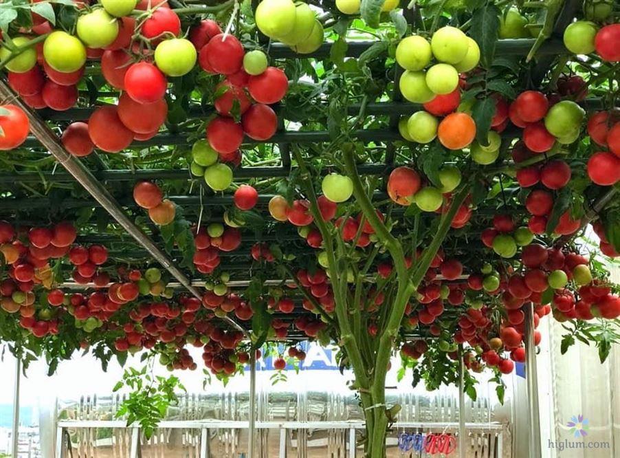 Trồng cà chua bạch tuộc