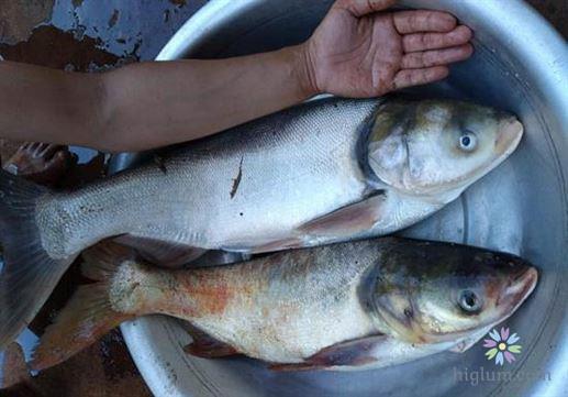 Chọn cá mè tươi - khỏe mạnh (nguồn : higlum)