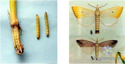 Tìm hiểu về sâu đục thân bướm hai chấm