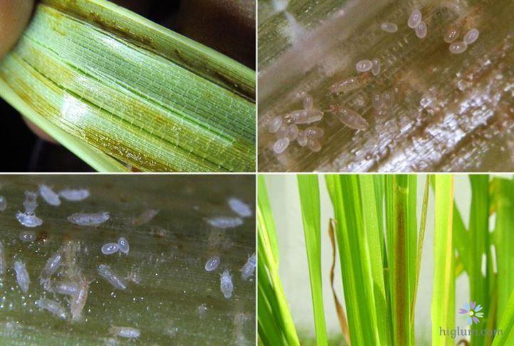 Nhện gié làm hại trên cây lúa