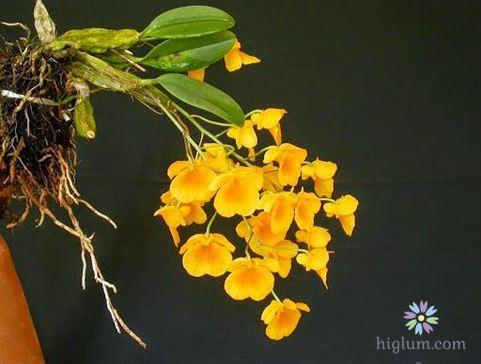 Ý nghĩa đẹp của loài hoa lan