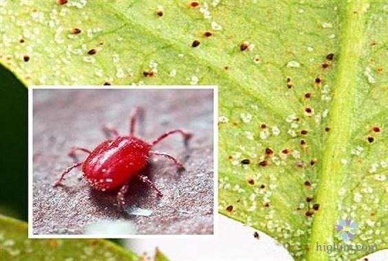 Cách trị nhện đỏ