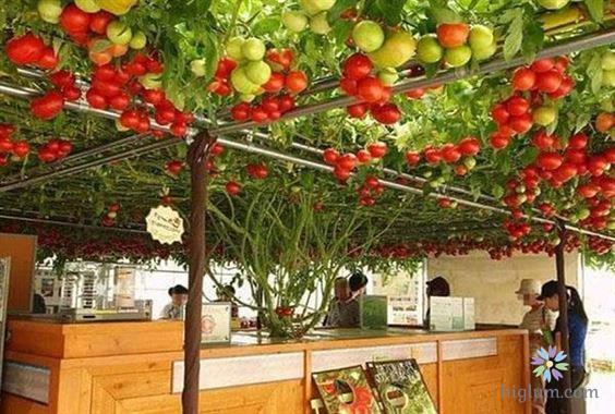 Hướng dẫn trồng cà chua bạch tuộc đơn giản tại nhà