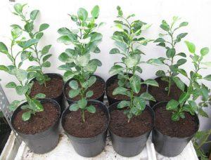 Hướng dẫn trồng chanh tại nhà