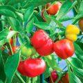 Hướng dẫn trồng ớt chuông tại nhà