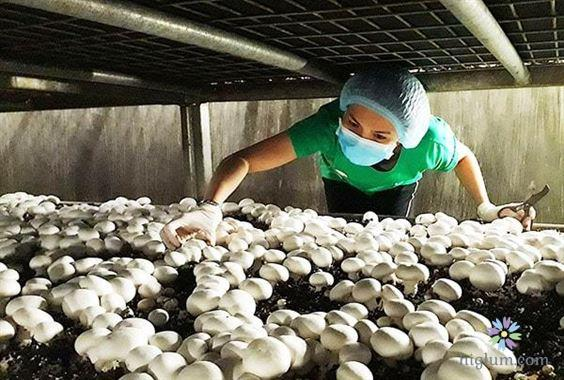 Phương pháp trồng nấm mỡ không hề phức tạp
