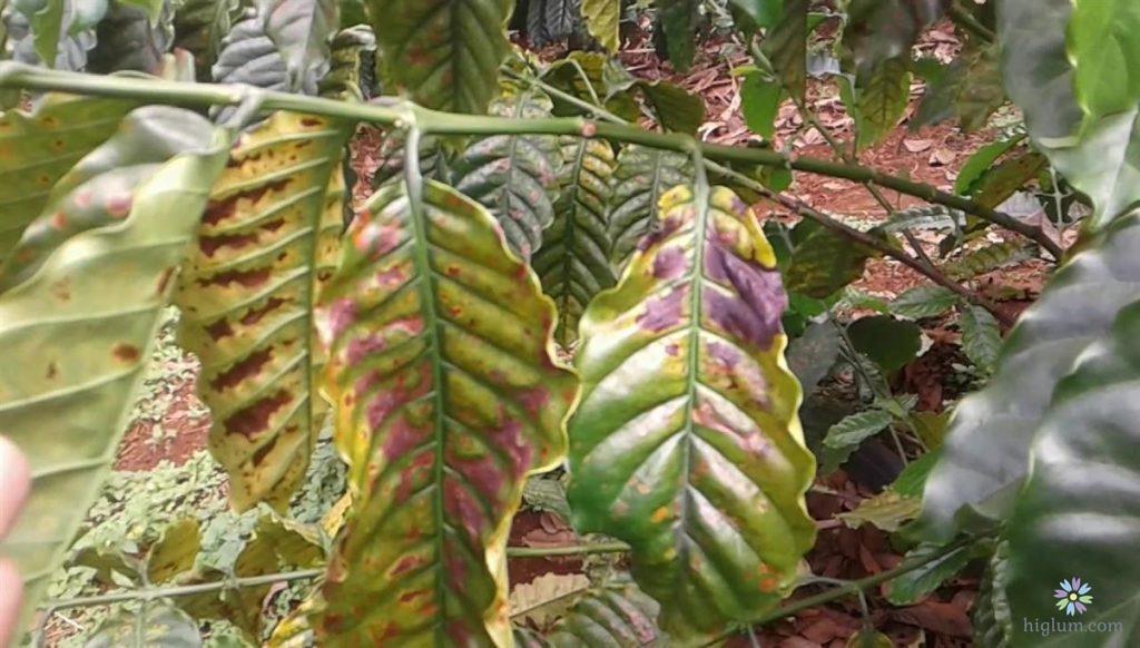 Bệnh cháy lá trên cây cà phê
