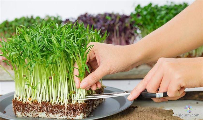 Hướng dẫn trồng và chăm sóc rau mầm