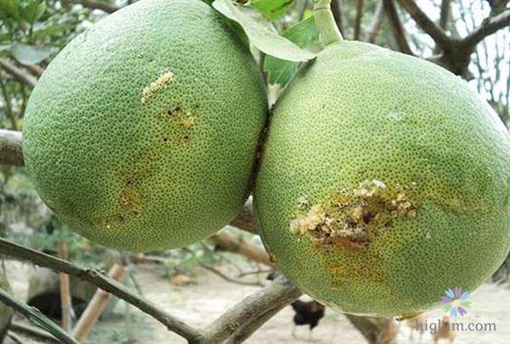 Hình ảnh ruồi đục trái - gây ảnh hưởng đến chất lượng quả