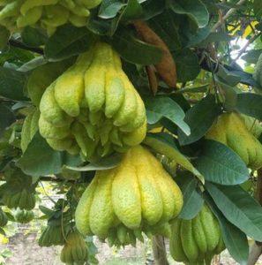 Hướng dẫn trồng phật thủ