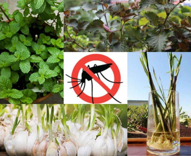 Hướng dẫn trồng cây đuổi muỗi