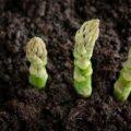 Hướng dẫn trồng và chăm sóc cây măng tây