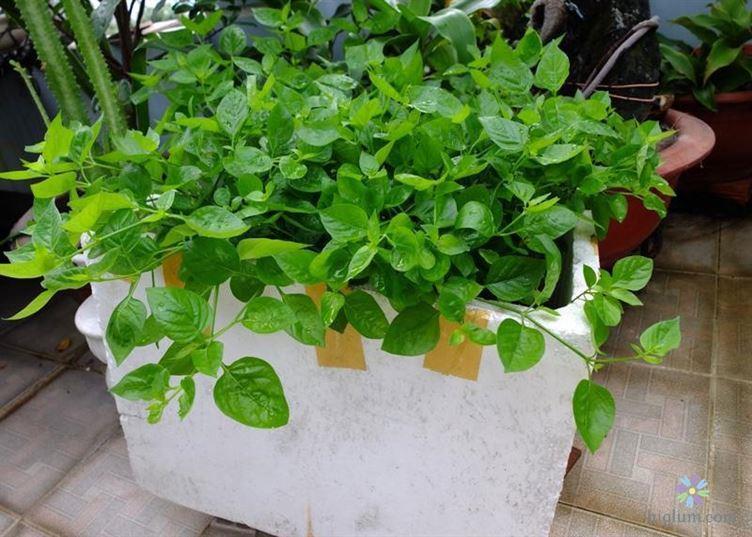 Hướng dẫn trồng rau ngót nhật trong thùng xốp