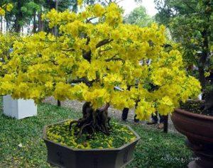 Hướng dẫn trồng cây mai vàng