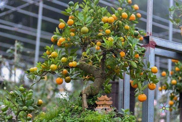 Cách trồng cây tắc ngày tết