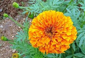 Hướng dẫn trồng cúc vạn thọ